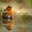 Little Robin