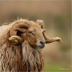 Portretje van een ram (Schaap hoorns 260419)