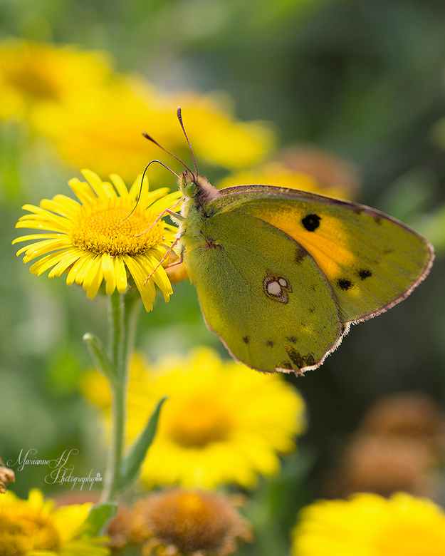 Oranje Luzerne vlinder - Veel  Oranje Luzerne vlindes op Ritthem dit jaar.