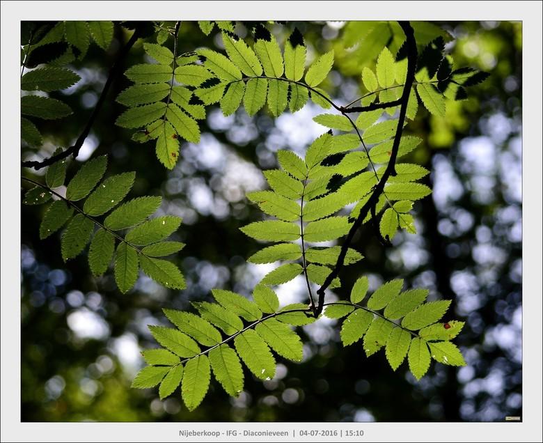 Licht en bladeren.... - Wanneer je op een mooie zonnige dag door het bos loopt, zie je overal om je heen hoe het doorschijnende zonlicht bladeren aans