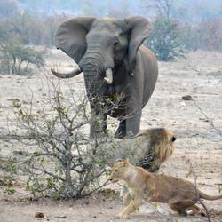 Olifant met leeuw