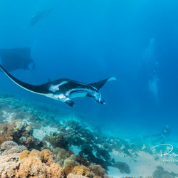 Manta roggen in Komodo National Park