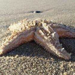 ster uit de zee