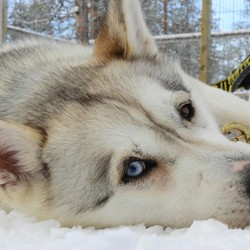 Lief en trouw, Husky blue and black eye