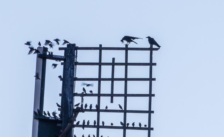 Opwarmertje - vervolg - Ik had de vorige foto nog niet gemaakt of twee kraaien vlogen de wiek op en verjoegen de spreeuwen....<br /> Bij het &quot;on