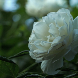 Witte schoonheid..