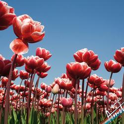 Tulpen in Anna Paulowna