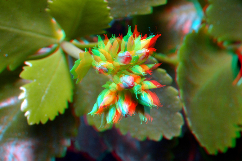Kalanchoë 3D Nikkor 40mm macro + 12mm extension - Kalanchoë 3D Nikkor 40mm macro + 12mm extension<br /> D7000 cha-cha  anaglyph stereo red/cyan