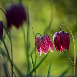 Kievits bloem