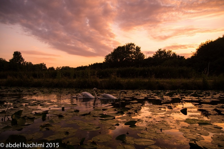 Sunset by family swan - Family Swan