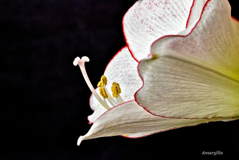 Amaryllis (Wit met rode belijning) (3)_DSC7114