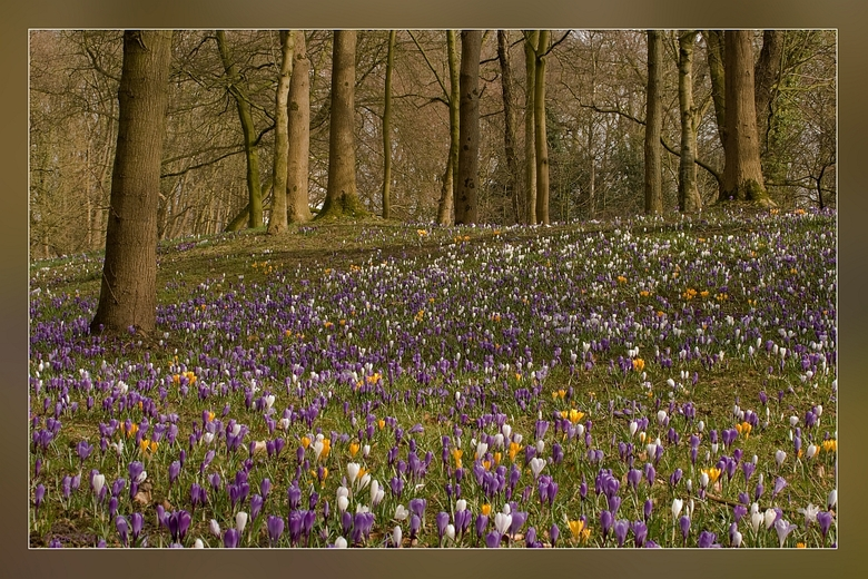 Honderden...... - voorjaarskrokusjes, stonden vandaag in het  Sterrebos.<br /> Het is altijd z`n mooi gezicht, zoveel zijn het er, als alles eindelij