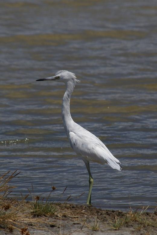 Witte reiger - De reigers, er zijn drie soorten op Curacao, zijn makkelijker te benaderen dan de flamingo's. De witte reiger vind ik zelf de mooi