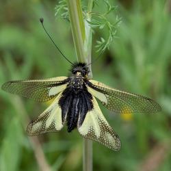 Gewone vlinderhaft (libelloides coccajus)