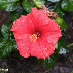 De Rode Hibiscus