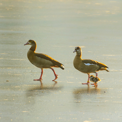 Familie nijlgans op het ijs