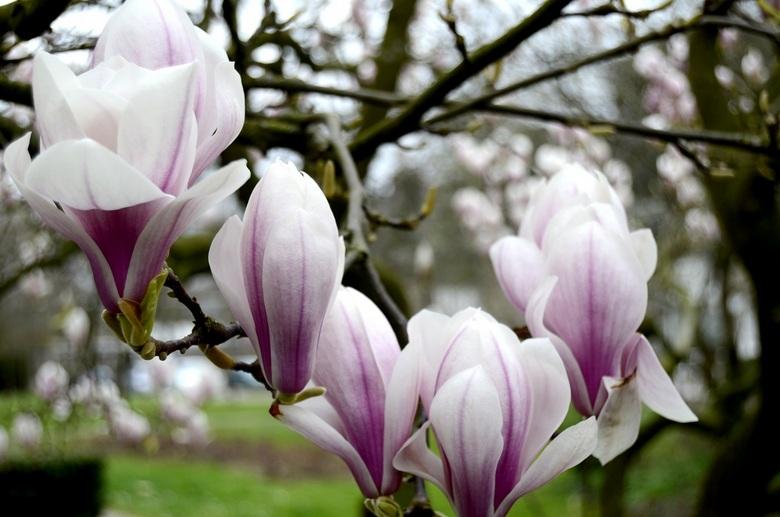 magnolia - _DSC0210.JPG