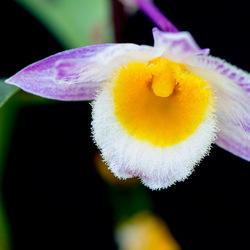 Dendrochilim (orchidee)