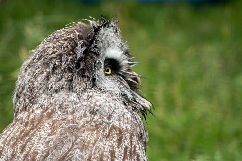 Uil in Schotland - Een uil in het schotse highland wildlife park. Draaide alleen zijn hoofd volledig als ik de camera niet klaar had.
