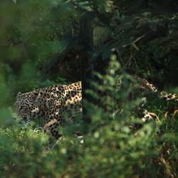 Panter in the bush