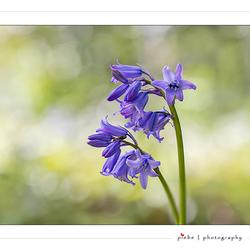 Bos hyacint