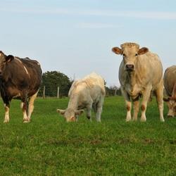 aandacht van de koeien