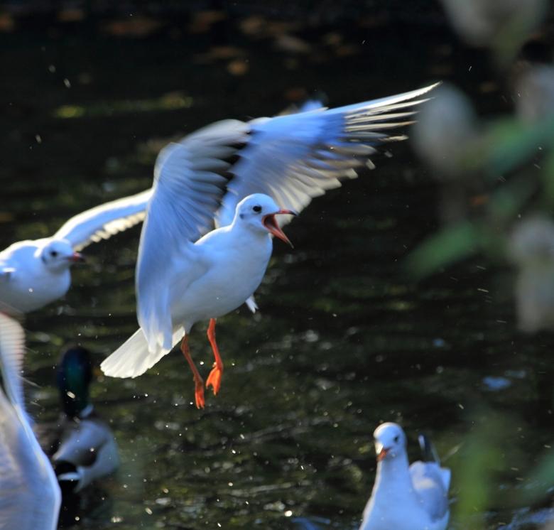 Eten!!! - In het Wilhelminapark in Meppel was iemand de eendjes aan het voeren. Uiteraard zijn de meeuwen dan ook zeer luidruchtig aanwezig.