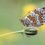 Veldparlemoervlinder