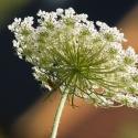Zomersneeuw - weidebloemen en grassen
