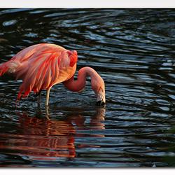 flamingo fishing?