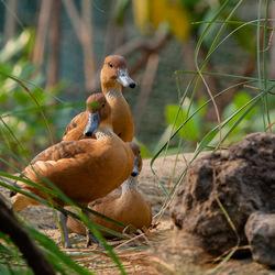 mangrove_eend_bz