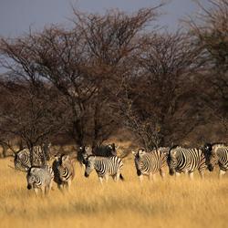 Zebras in de avondzon.