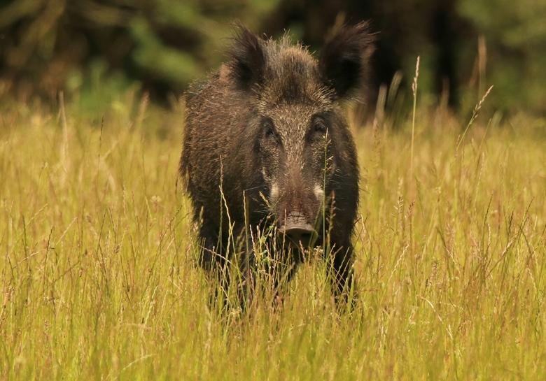Wild varken -