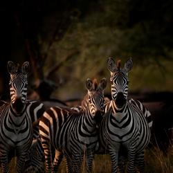 Zebra's in het avondlicht Serengeti NP