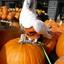 Mijn Witkuifkaketoe Maxi en de 'Halloween-pompoenen', 16-10-2017.