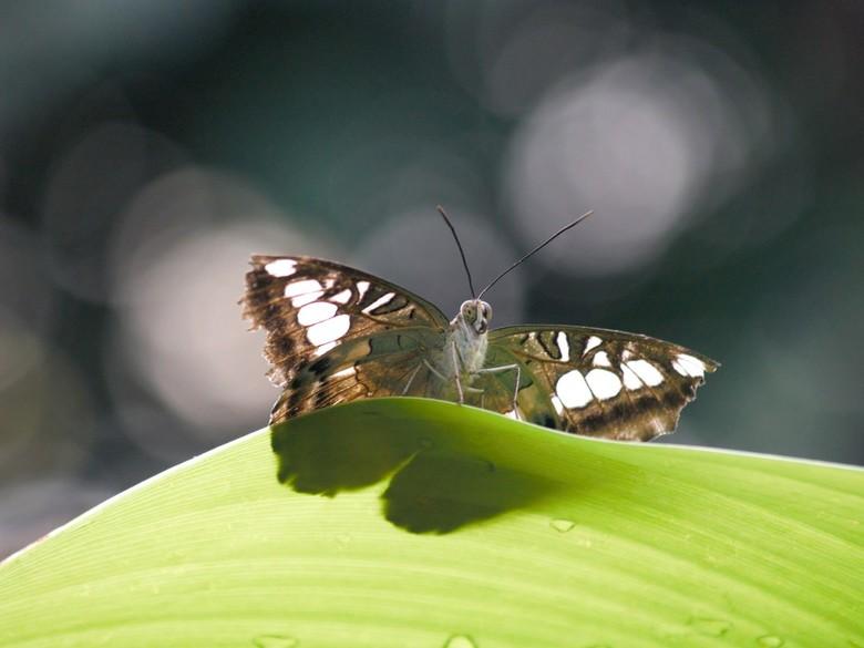 Vlinder uit Vlinders aan de Vliet - Afgelopen vrijdag gemaakt in Vlinders aan de Vliet in Leidschendam