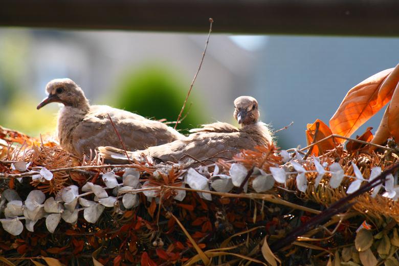 Lentestemming - Om in de lentestemming te komen, een foto van vorig jaar, een nestje turkse tortels.
