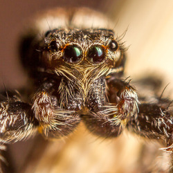 jump spider