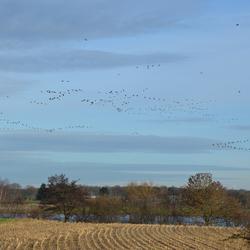 Zwerm vogels in Blitterswijck