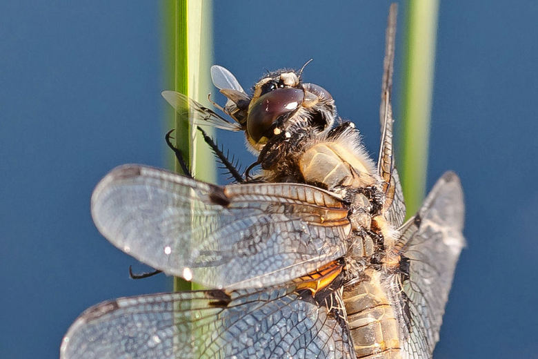 etende Libelle - Een etende libelle.........