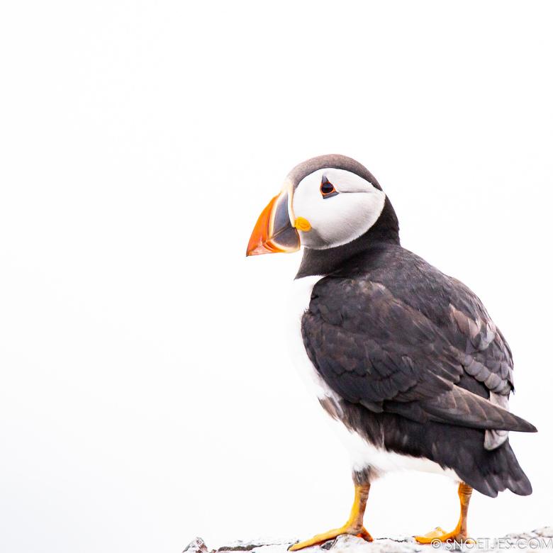 Papegaaiduiker op Farne Islands - Papegaaiduiker op Staple Island in Highkey