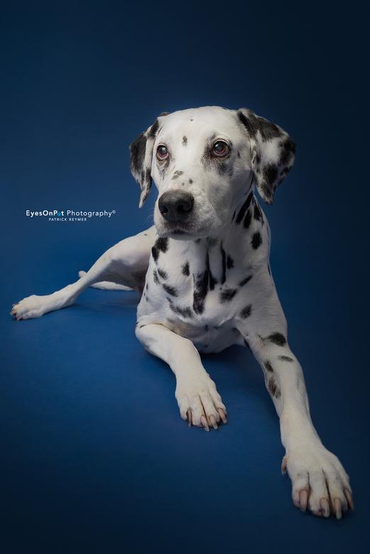 K I K I - Onze Dalmatiër Kiki is bijna 14 jaar. Ziet en hoort niet veel meer, maar blijft een mooie dame.