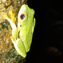 Redeye frog Panama