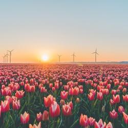 Tulpenvelden in Flevoland