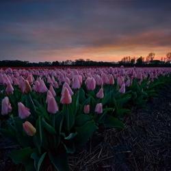Pinky tulips