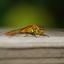 Libelle in de achtertuin