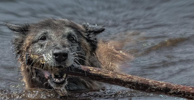 De oude-grijze dame - Deze oude grijze dame vermaakte zich prima in het verkoelende water. De eigenaars vertelden mij dat ze 13 jaar oud is.  Met rech