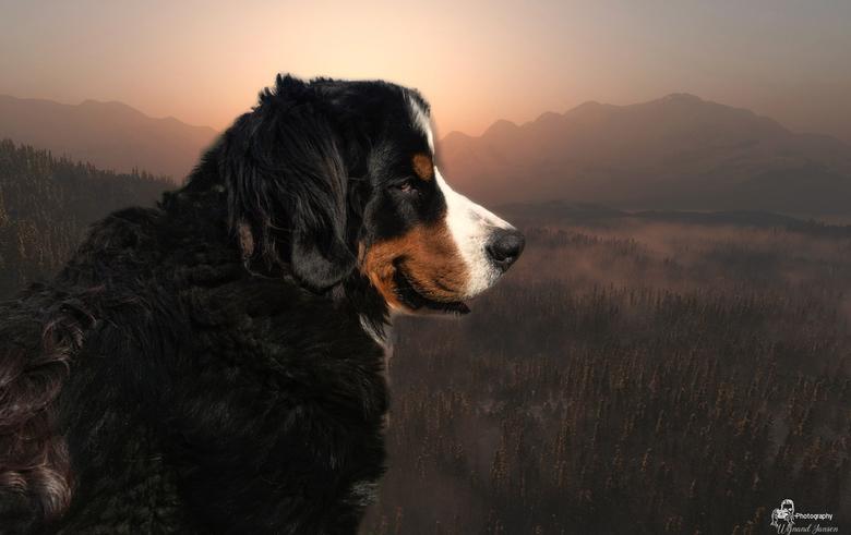 """BERNESE MOUNTAIN DOG - The Bernese """", zoals dit ras vaak liefdevol wordt genoemd, is een vriendelijke en gehoorzame hond, hij is waakzaam, redeli"""