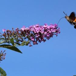 Kolibrievlinder in Duiven (1)