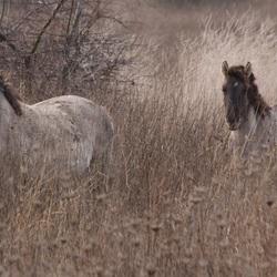 Konikpaarden bij Loo in Gelderland
